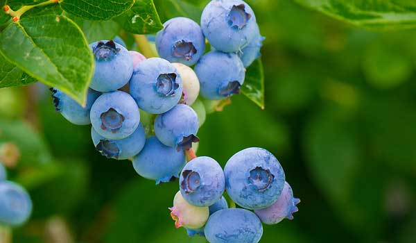 The Phenomenal Antioxidant Power Of Blueberries